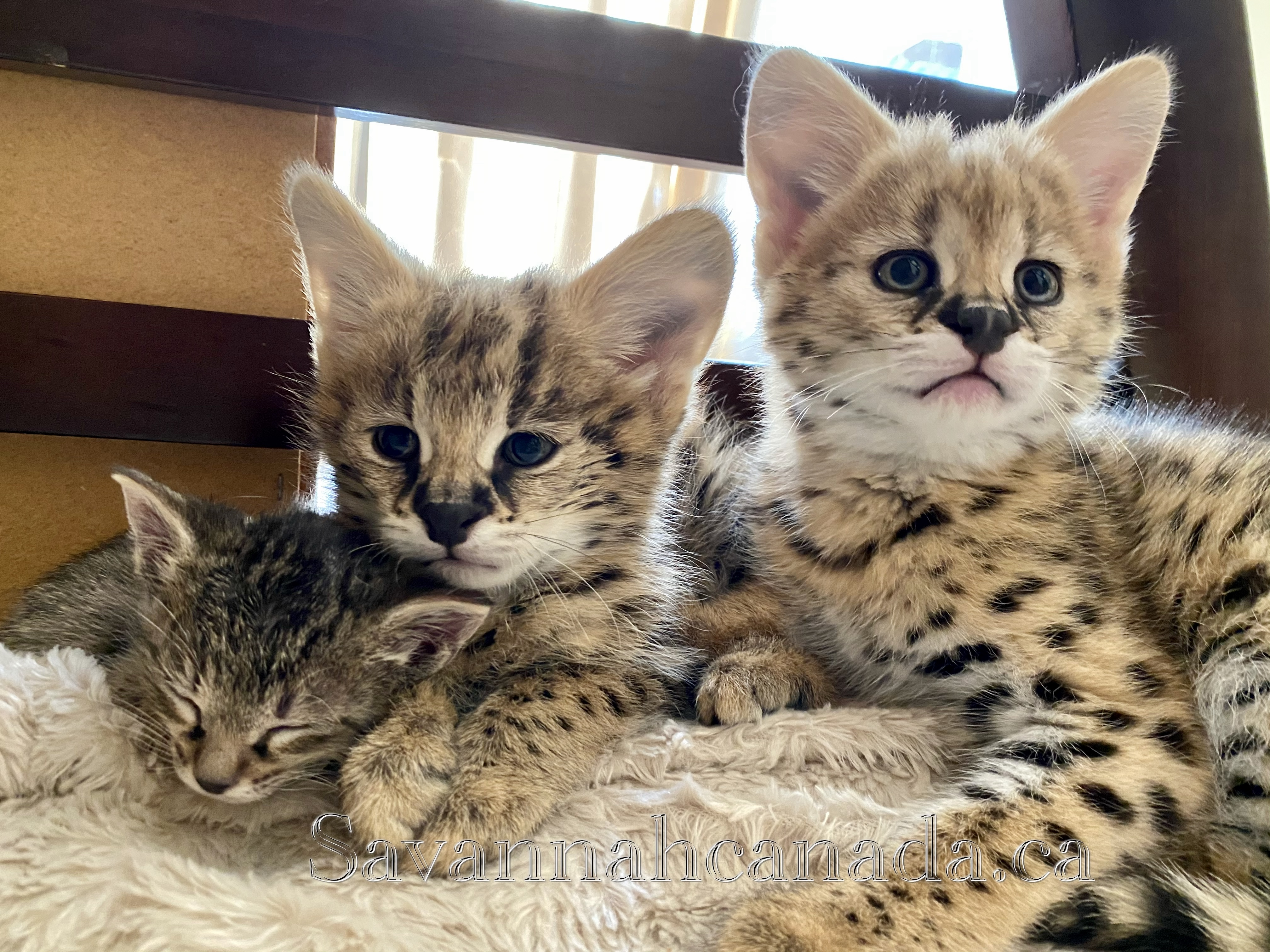 Available Savannah Kitten from Savannah Canada