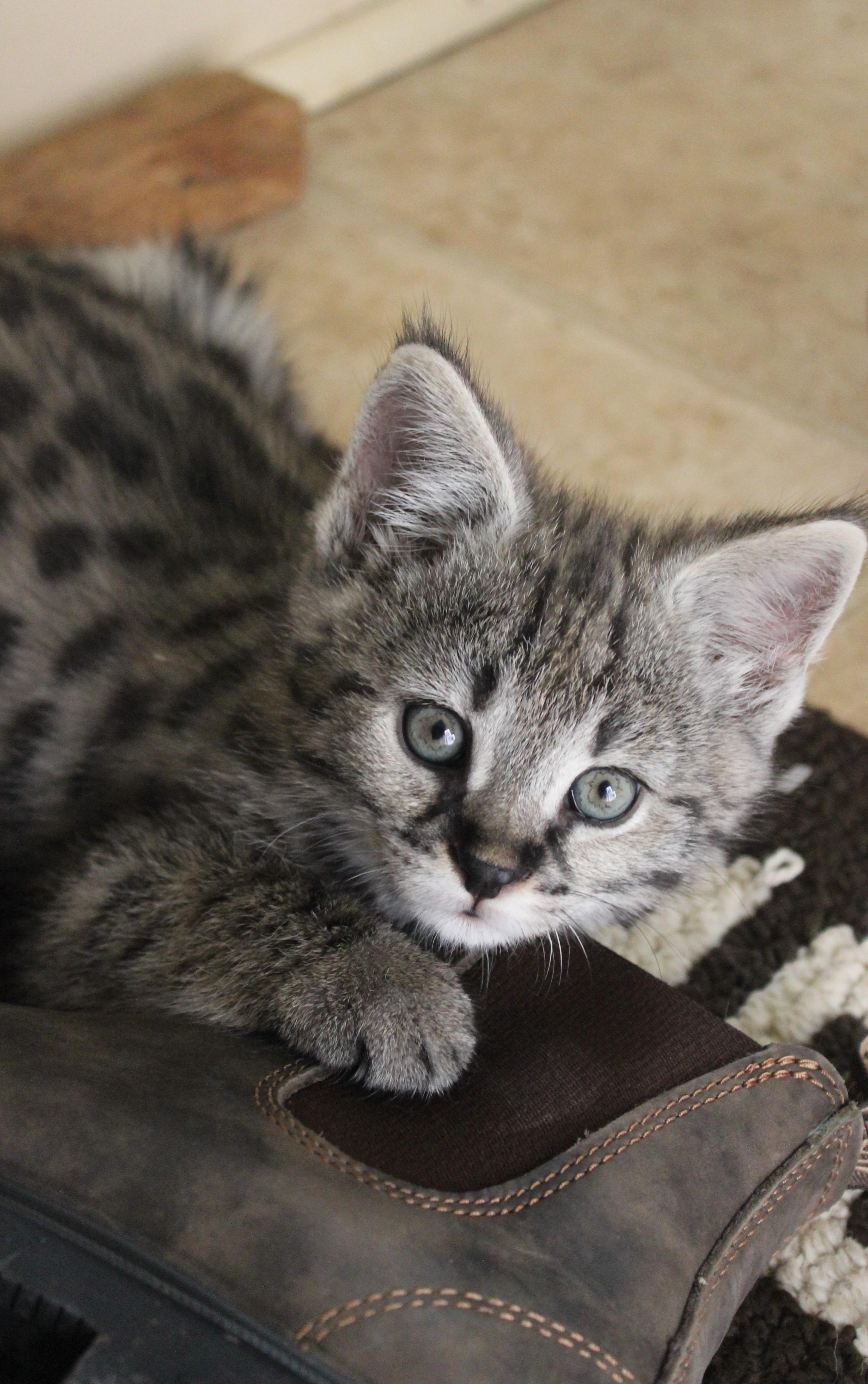Available Savannah Kitten from Savannah Canada